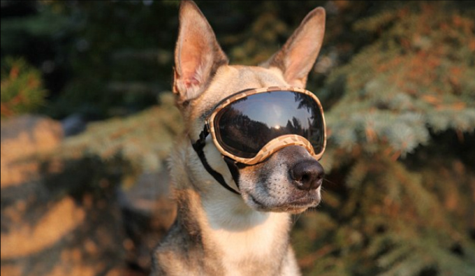 Doggy with Sunglasses